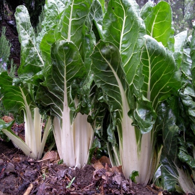 how to clean and store swiss chard