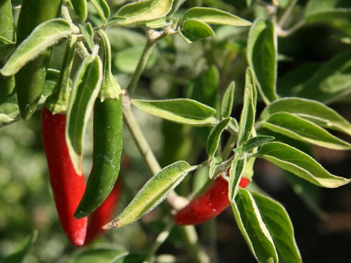 Serrano Tampiqueno Hot Pepper Seeds